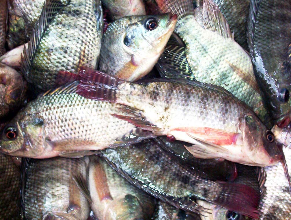 Global Tilapia Market to Reach 7.9 Million Tons by 2024 | CAGR 3.7% - IMARCGroup