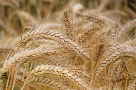 Wheat Market 2019: Global Key Players, Trends, Share, Industry Size, Segmentation, Opportunities, Forecast To 2025