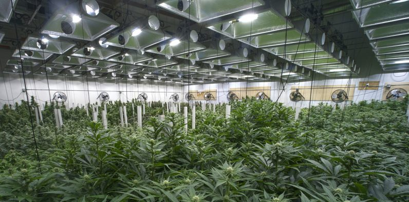 Cannabis Cultivation Market is Thriving Worldwide with Canopy, Aphria, Aurora Cannabis, Tilray