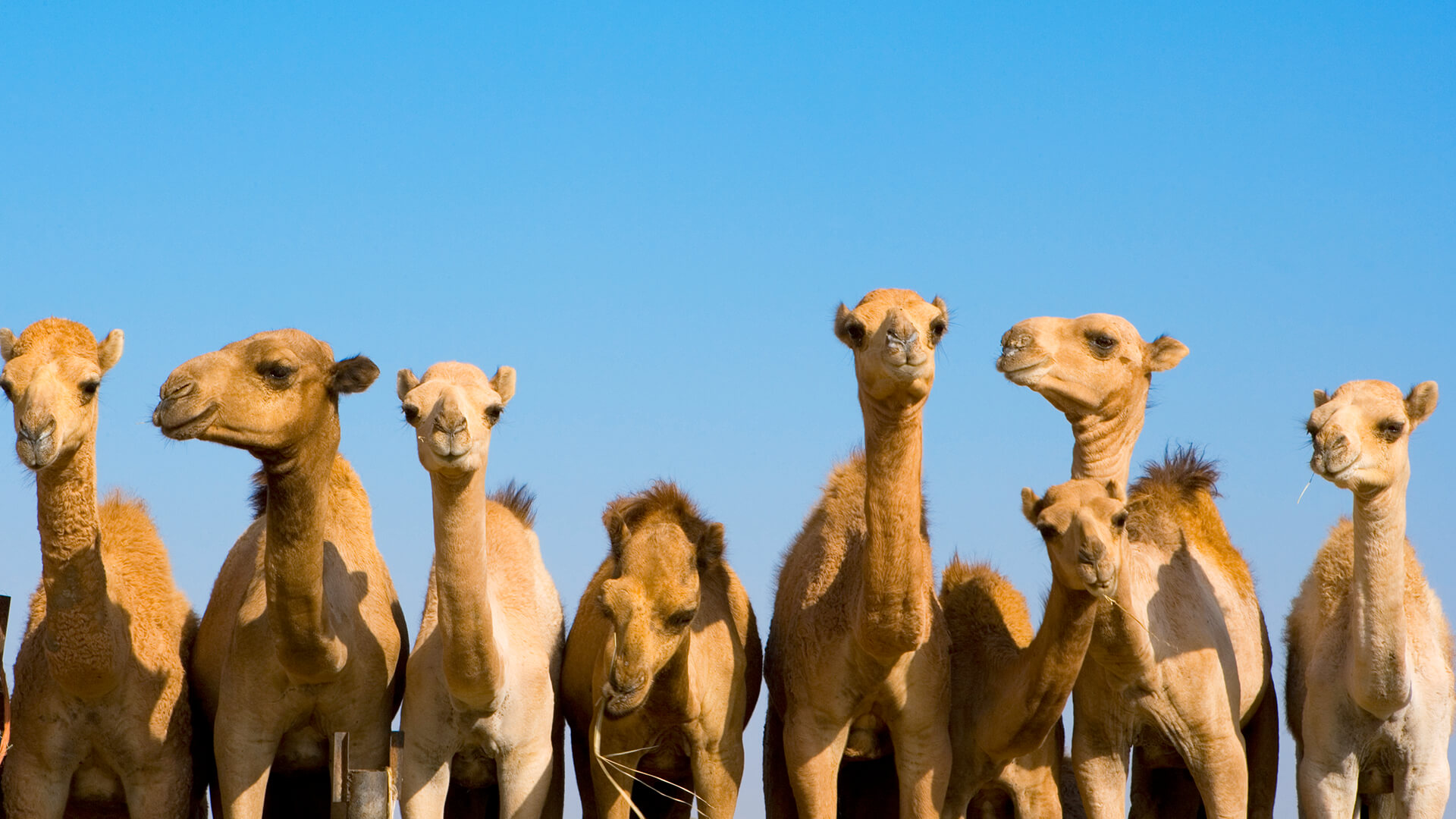 GCC Camel Dairy Market 2020-2025 | Industry Trends, Share, Size, COVID-19 Impact Analysis, Growth, Demand and Opportunities