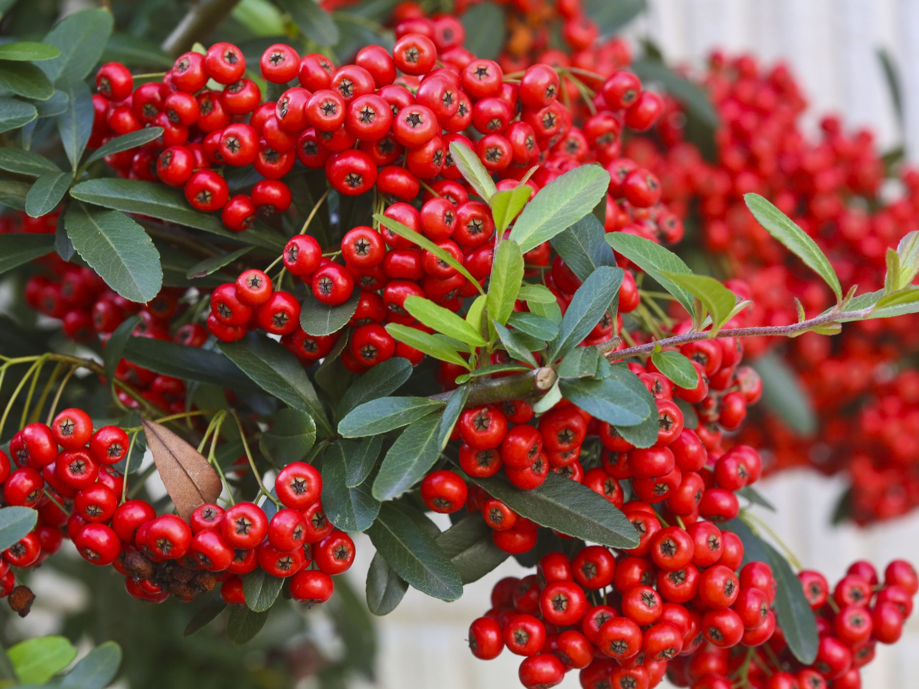 Red Berries Market Boosting the Growth Worldwide | Ocean Spray Cranberry, SunOpta, Hortex Group