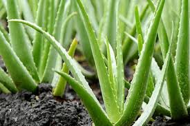 Aloe Vera Market May Set Epic Growth Story with Major Giants Herbalife, Terry Laboratories, Aloe Farms