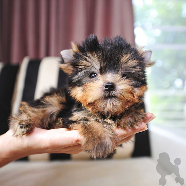 Puppy Therapy Makes It Easier To Find a Perfect Teacup Puppy For Everyone