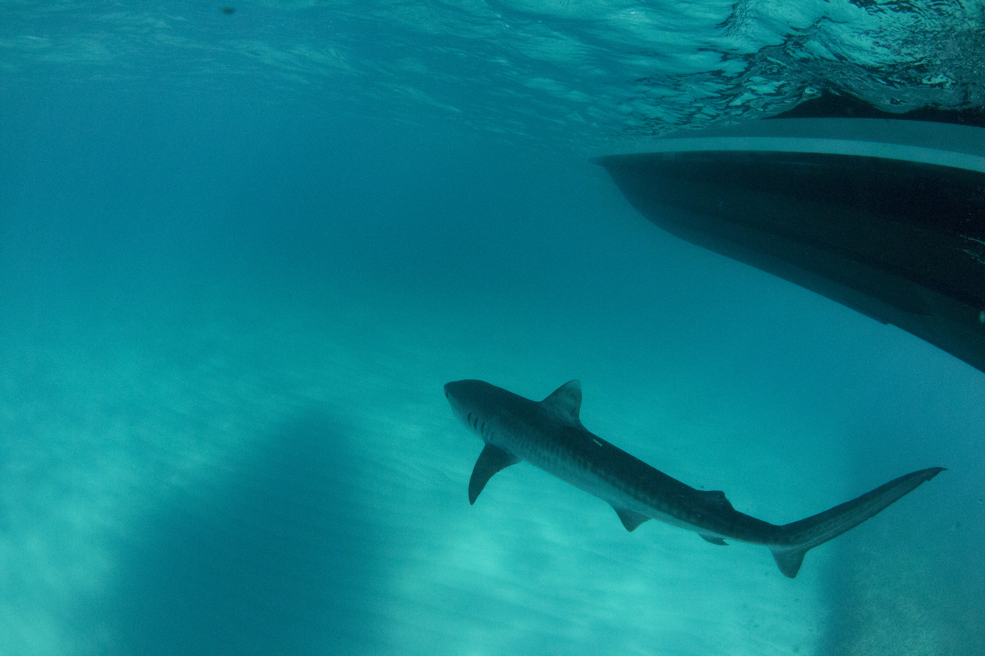 All-Female Team Leading Expedition Focused on Juvenile Tiger Sharks in Turks and Caicos